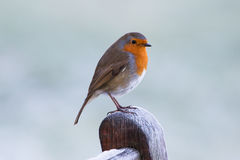 Winter Robin. Robin posing on a frosty morning royalty free stock images