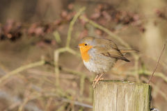 A winter Robin on a post. A puffed up Robin in the winter trying to stay warm Royalty Free Stock Photo