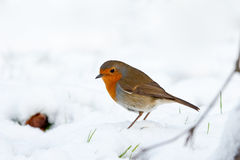 Winter Robin Profile Snow with Green Shoots Royalty Free Stock Image