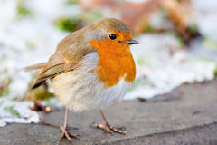 Winter Robin with Snowy Backround Close up Stock Photography