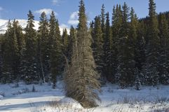 Winter in the Rockies Royalty Free Stock Image