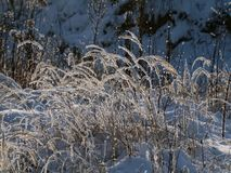 Winter romance in grove. Snowy blades of grass in winter grove in sunshine Royalty Free Stock Photo