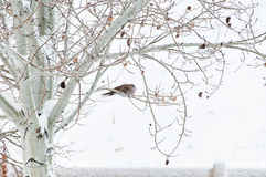 Winter Roost for a Collared Dove Stock Photo