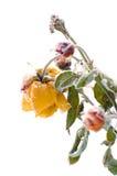 Winter rose Royalty Free Stock Photo