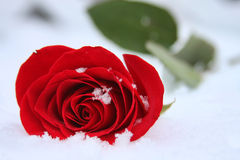 Winter Rose. A single red rose laying in the snow with snowflakes on the petals Royalty Free Stock Image
