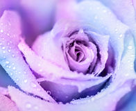 Winter rose background Stock Image