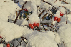 Winter and rose Stock Photography