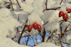 Winter and rose Royalty Free Stock Images