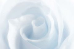 Winter rose Royalty Free Stock Images
