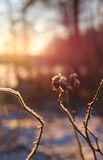 Winter rose hip facing sunset Royalty Free Stock Photo