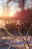 Winter rose hip facing sunset Royalty Free Stock Photo