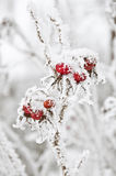 Winter rose hips Royalty Free Stock Images