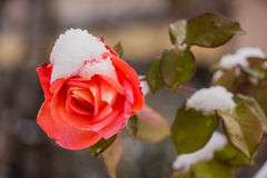 Winter rose. Royalty Free Stock Images