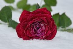Winter Rose Royalty Free Stock Photos