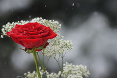 Winter rose. Stock Images