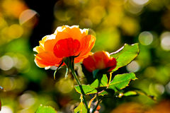 Winter Rose in Sunshine. Winter Rose in the Rose Garden of Golden Gate Park, San Francisco, California Stock Photos