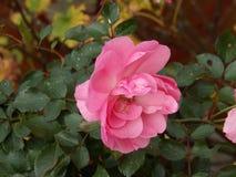 Winter rose Stock Image