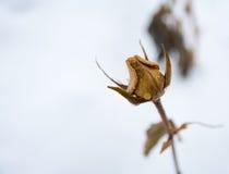 Winter Rose Royalty Free Stock Image