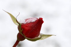 Winter. Rosebud on a white background. stock photo