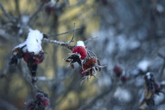 Winter rosehips. Berries rosehips on a branch in winter, covered with snow Royalty Free Stock Images