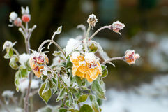 Winter roses Stock Image