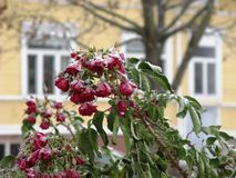 Winter roses royalty free stock photo