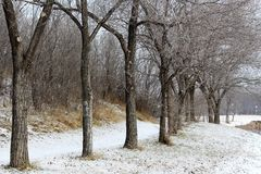 Winter row of trees. At Saskatchewan Science Centre Stock Photo