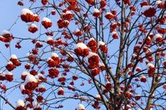 Winter rowan Royalty Free Stock Images