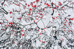 Winter Rowan Royalty Free Stock Photos