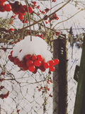 Winter rowan Stock Photography