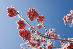 Winter rowan Stock Photo