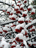 Winter Rowan. Snowy inter. Rowanberry under snow Stock Photo