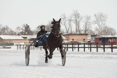 Winter. Running is a test of trotters. Competitions in equestrian sport in the winter. Reportage. Runs - test horses of trotting breeds and playfulness in Royalty Free Stock Image