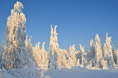 Winter. In Russia. trees in snow Royalty Free Stock Image