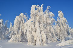 Winter. In Russia. trees in snow Royalty Free Stock Photography