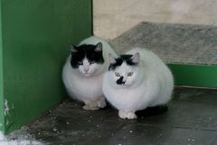 Two cats near. Winter in Russia, two cats meet people entering the store stock photography