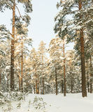 Winter russian forest snow road Stock Photos
