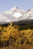 Winter's Approach. Quaking Aspen trees in autumn color with recent snow covering mountain peaks in background Stock Images