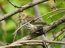 Pine Siskin during Fall Migration  Stock Photos