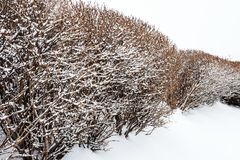 Winter hedge. Snow covered hedge Royalty Free Stock Photo