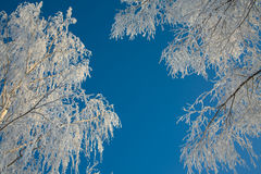 Winter's trees Stock Photography