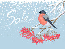 Winter sale card with bullfinch on the rowan. Winter blue snowy horizontal sale advertising card with beautiful bright Bullfinch on the branch of red rowan and Stock Photography