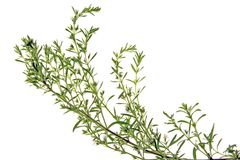 Winter savory. (mountain savory) - Satureja montana isolated before a white background Stock Photo