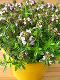 Winter savory in flowerpot. Blossoming winter savory in flowerpot stock photography