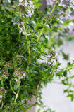 Winter Savory Plant Royalty Free Stock Image