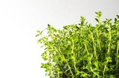Winter savory (Satureja montana). Fresh winter savory (Satureja montana) on white background Royalty Free Stock Images