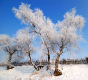 Winter scene. Beautiful hoarfrost and rime on trees under blue sky with little cottages and the fence in a cold winter day Royalty Free Stock Photography