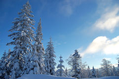 Winter scene. Pine trees covered with fresh snow Royalty Free Stock Images