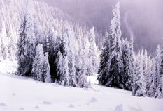 Snow laden landscape. Snow laden fir trees in the high country of Washington Royalty Free Stock Photography