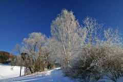Winter scene. With trees and snow royalty free stock photo